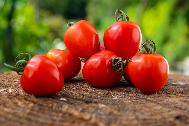 A close up of freshly harvested red cherry tomatoes set on a wooden surface on a green soft focus background.