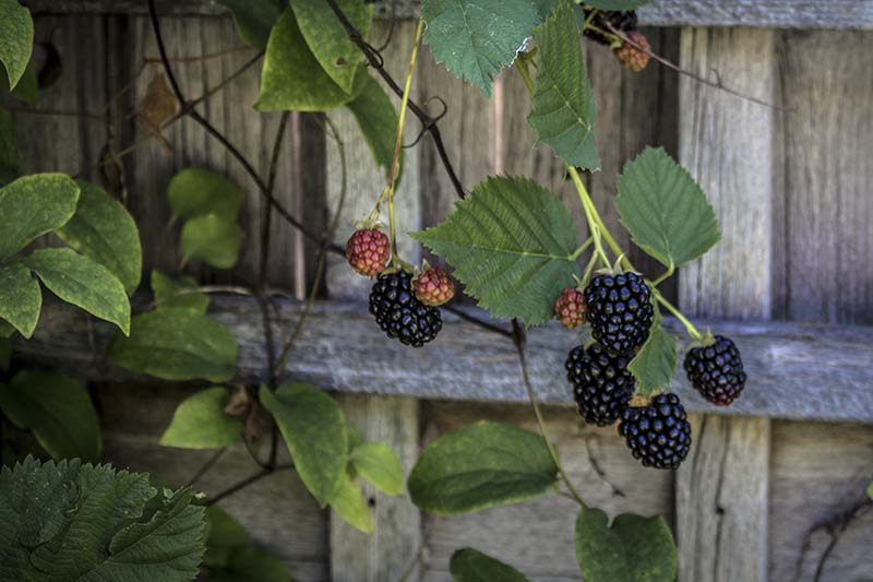A close up of ripe fruits on a climbing boysenberry vine with a wooden fence in the background.