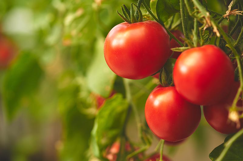A close up of ripe red tomatoes hanging from the vine on a soft focus background.
