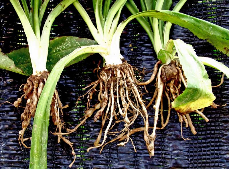 A close up horizontal image of three plants pulled out of the ground showing root nodules consistent with nematode infection.