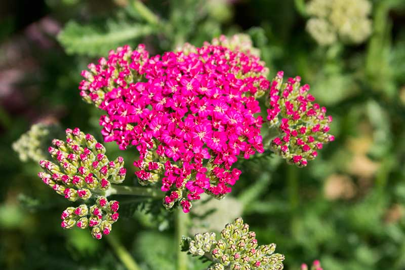 A close up of Achillea 'New Vintage Rose' pictured in bright sunshine on a soft focus background.
