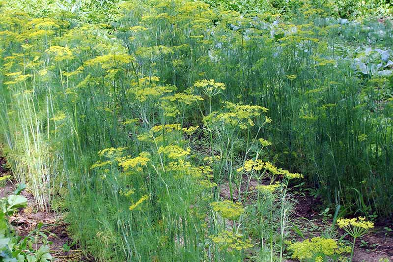 A garden scene with rows of dill growing, with upright stems and yellow umbel flower heads, pictured in light sunshine.