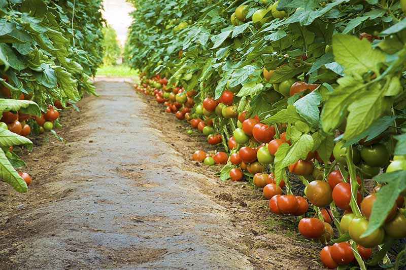 A dirt pathway through a garden with rows of tomato plants growing either side, with ripe and unripe fruits.