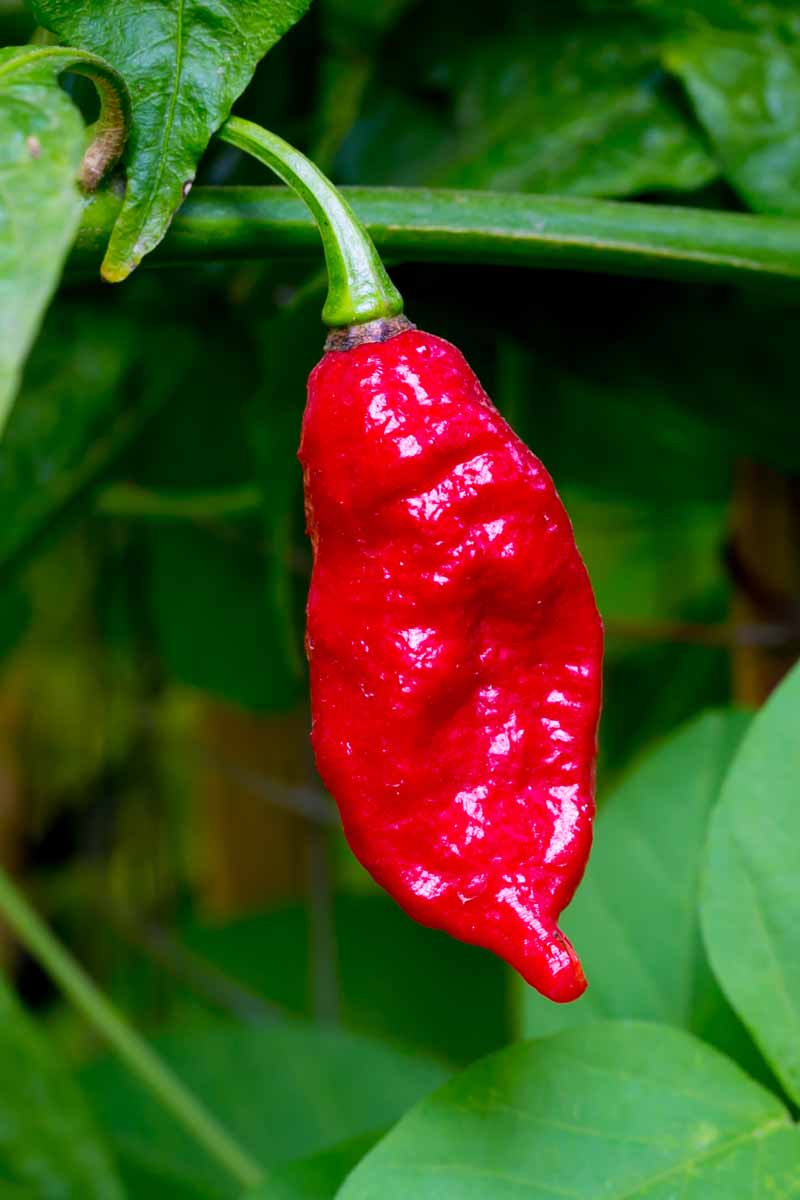A vertical close up picture of a bright red 'Bhut Jolokia' chili hanging from the plant, ready for harvest, on a green, soft focus background.