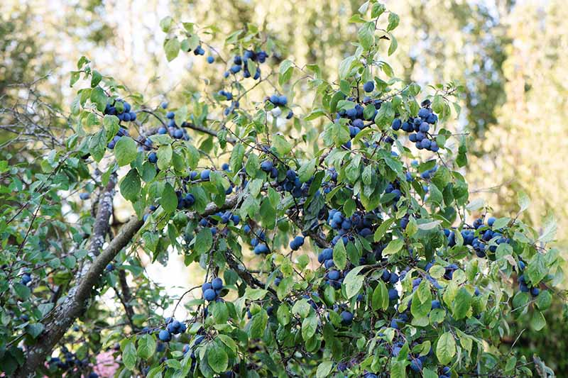 A close up of the ripe sloes, the fruits of the blackthorn bush in autumn light.