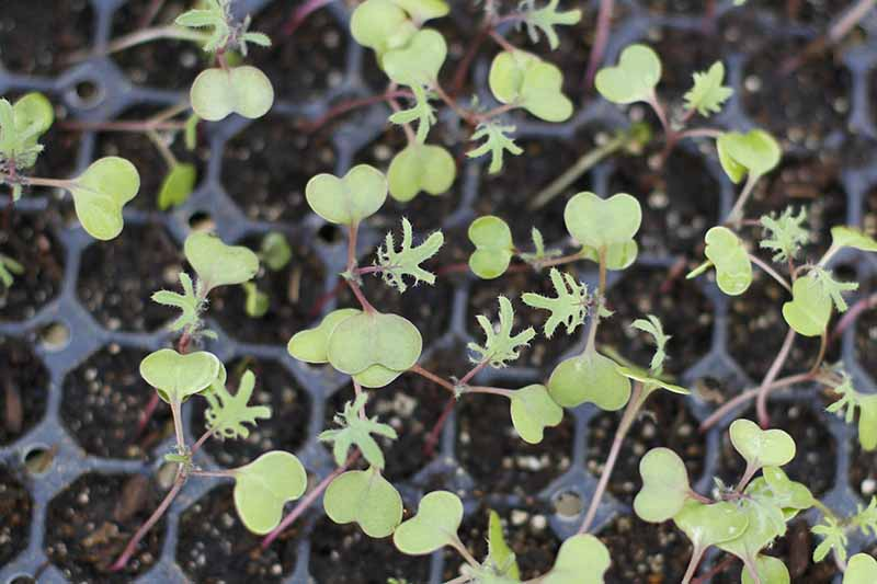 A close up of tiny seedlings growing in seed starting trays with their first true leaves starting to show prior to planting out.