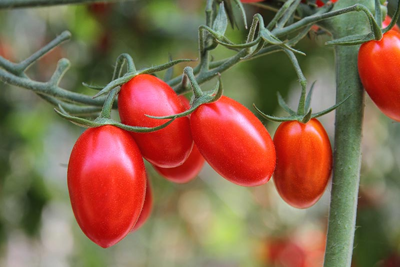 A close up of small red ripe cherry tomatoes hanging from the vine pictured on a soft focus background.