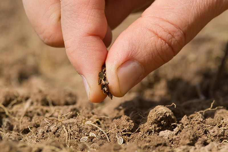 A close up of a hand sowing small seeds into freshly tilled soil, in bright sunshine.
