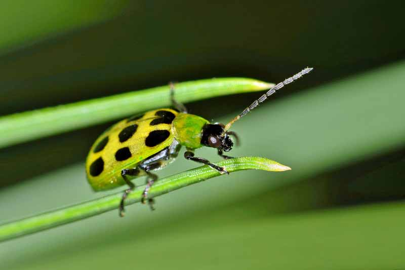 A close up of a spotted cucumber beetle, Diabrotica undecimpunctata, on a green shoot, pictured on a soft focus background.