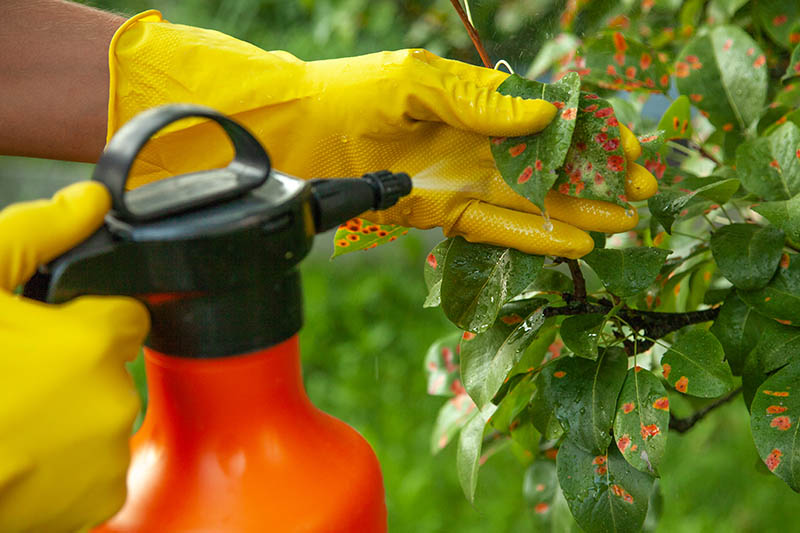A close up of two hands wearing yellow gloves spraying pesticide from a red and black bottle onto the foliage of an infected plant.