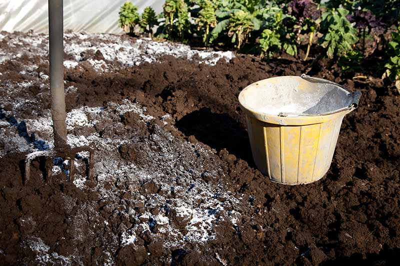 A close up of a garden fork set in dark, rich garden soil, with a yellow bucket to the right, spreading around a white fertilizer substance, pictured in bright sunshine with vegetable crops in soft focus in the background.