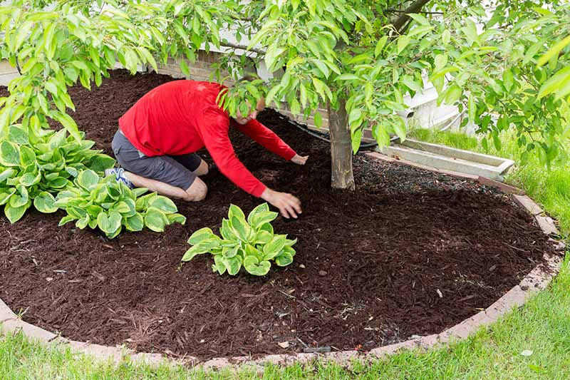 A close up of a man spreading wood chips around the base of a tree in a flower border with a lawn in the foreground.