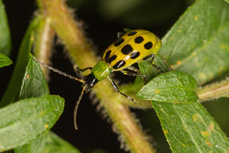 A close up of a yellow and black beetle on green foliage pictured on a soft focus dark background.