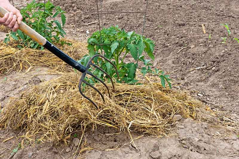 A close up of a garden fork from the left of the frame placing straw mulch around the base of a plant growing in dry, dense soil with a small metal cage for support.