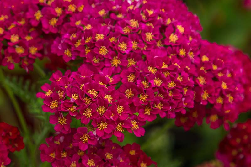 A close up of the bright red flowers of Achillea 'Strawberry Seduction' on a soft focus background.