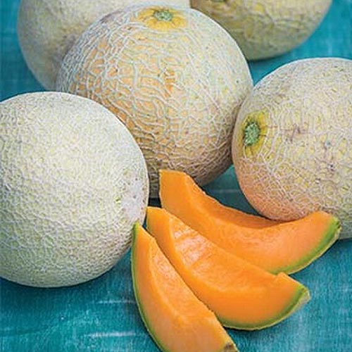A close up of freshly harvested and sliced 'Sugar Cube' cantaloupe melons, set on a blue surface.