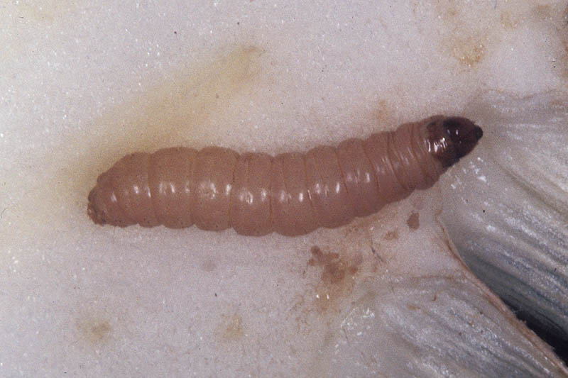 A close up of a small larvae worm on a white background.