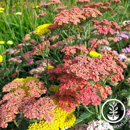 A close up of the bright colors of Achillea 'Summer Pastels' growing in the garden. To the bottom right of the frame is a white circular logo and text.