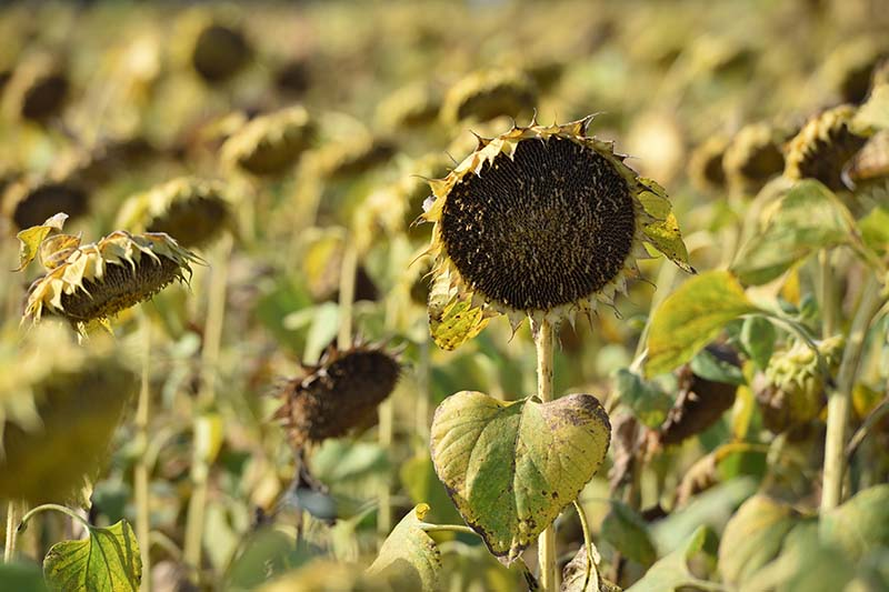 A close up of rows of sunflowers that have dropped their petals and are drying out prior to harvesting the seeds, pictured in light sunshine and fading to soft focus in the background.