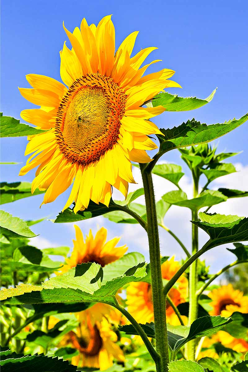 A vertical close up picture of a large Helianthus annuus flower, the bright yellow petals contrasting with the green foliage and the blue sky in the background.