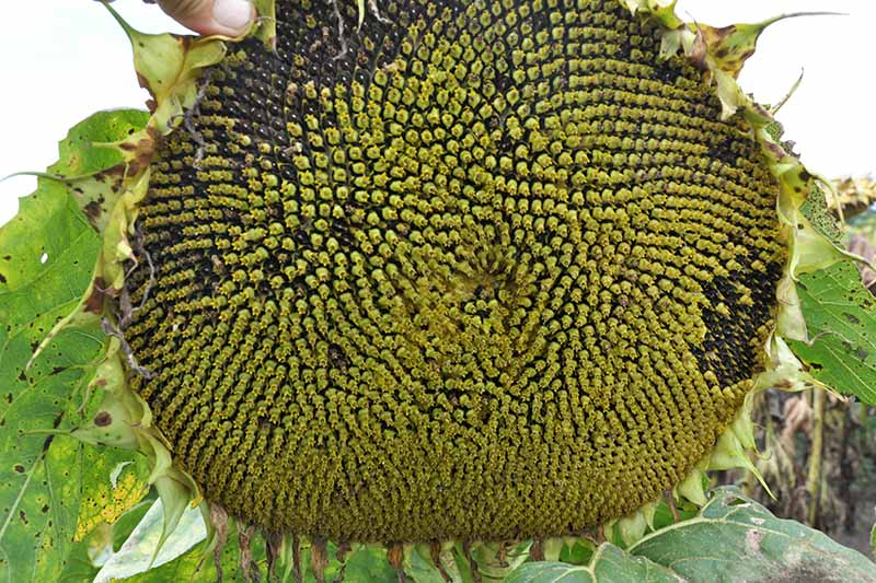 A close up of a sunflower head that is almost ready to harvest, with seeds developing from green to black, pictured on a soft focus background.