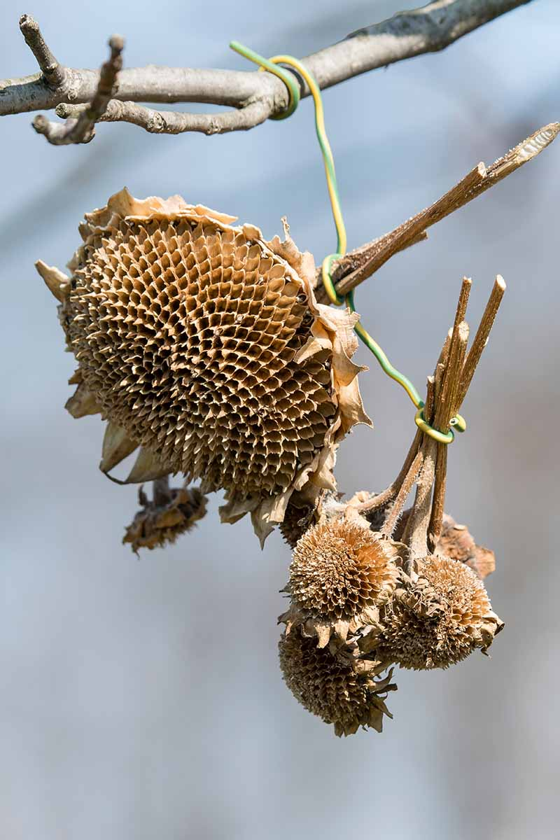 A vertical close up picture of sunflower heads cut off the plant, hanging from a branch to dry, ready for harvest, pictured on a soft focus background.