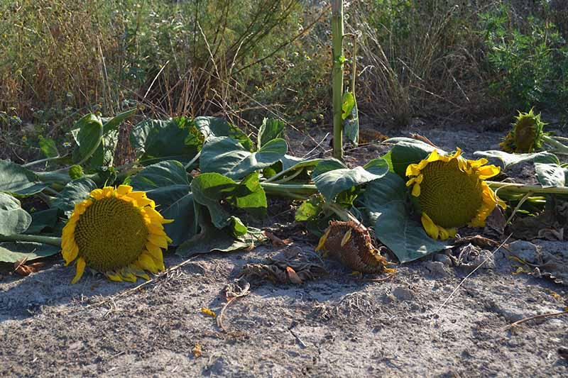 A close up of Helianthus annuus plants cut down to the ground and set on the soil, with scrubby weeds in the background in soft focus.