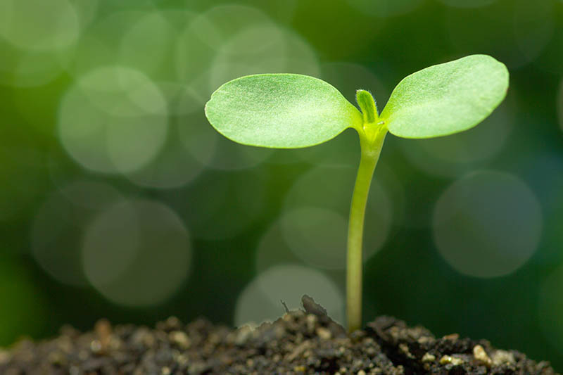A close up of a tiny seedling germinating from the soil, on a green soft focus background.