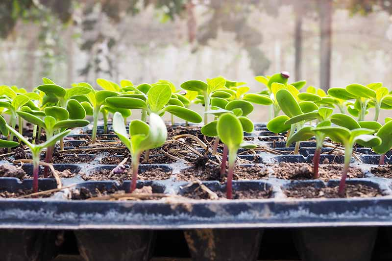 A close up of black plastic seed trays with small green seedlings with the first true leaves appearing, on a soft focus background.