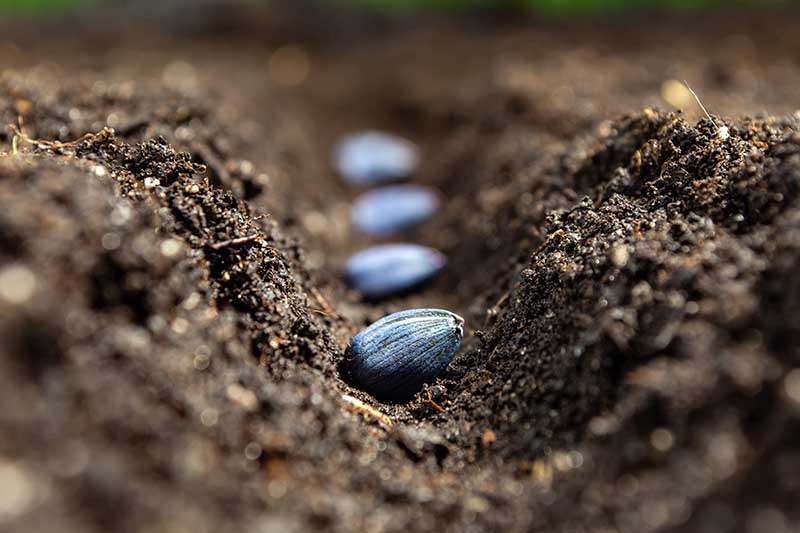 A close up of dark rich soil with fresh Helianthus annuus seeds sown and ready to cover.