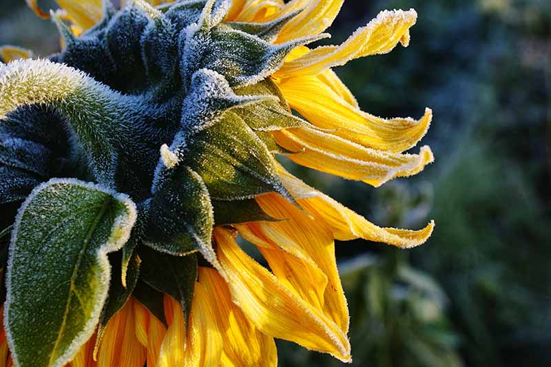 A close up of the back of a Helianthus annuus flower with a light frost dusting the plant, pictured in light sunshine on a soft focus background.