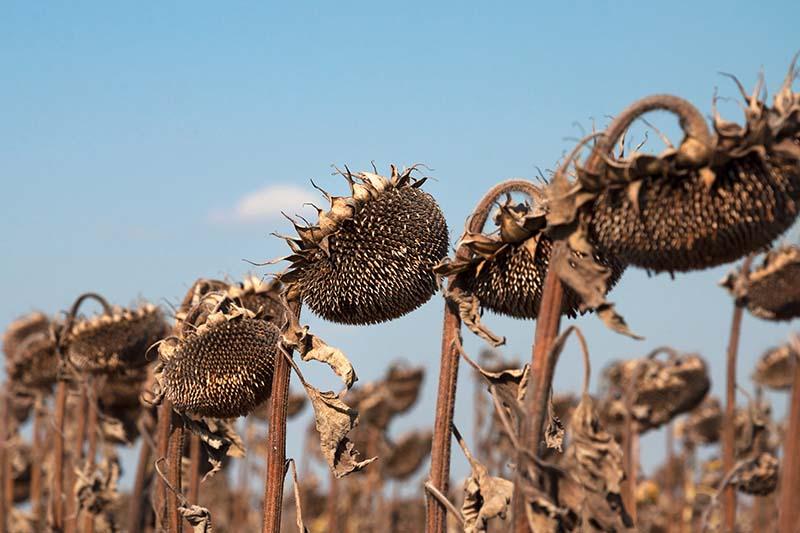 A close up of rows of sunflower heads, turned brown and dying in the garden against a blue sky background.