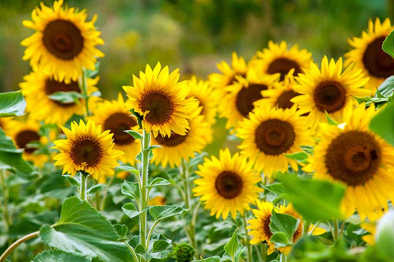 A close up of Helianthus annuus flowers growing in the garden in light sunshine on a soft focus green background.