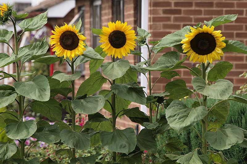 A close up of three sunflowers growing in a border outside a brick home.