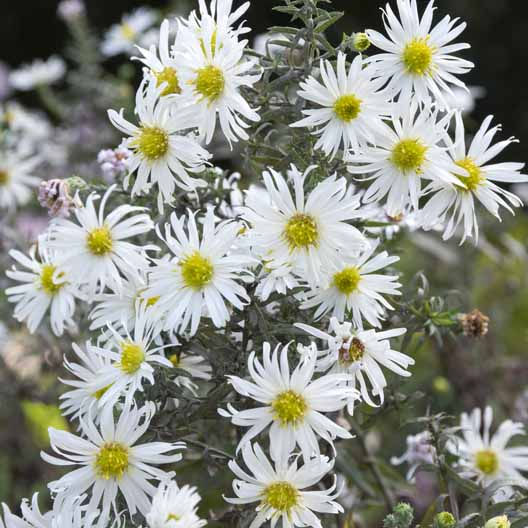 Symphyotrichum ericoides, 'Snow Flurry', White Heath Aster Flowers in bloom.