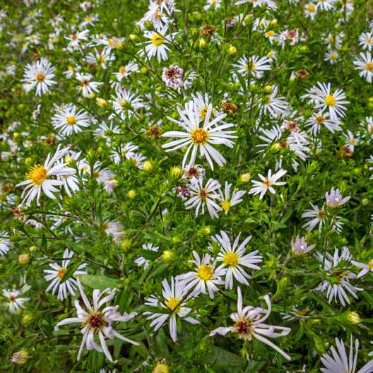 Symphyotrichum lanceolatum White Panicled aster flowers in bloom.