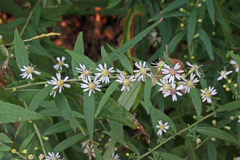 A close up of the delicate white and yellow flowers of the calico aster, growing in the garden in a shaded location.
