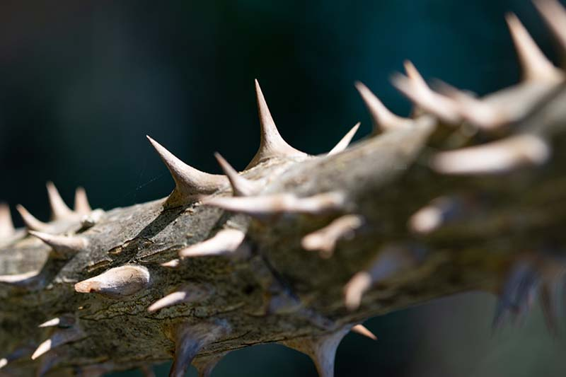 A close up of the vicious thorns of the devil's walking stick plant on a soft focus background.