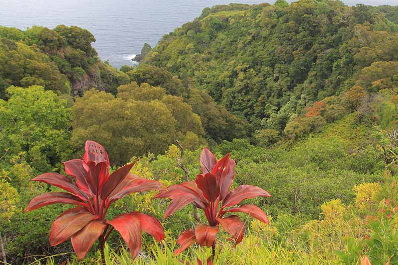 "Two large red-leaved Cordyline fruticosa plants, sometimes called ""Ti plant"" growing wild in Hawaii, with native bush and ocean in the background."