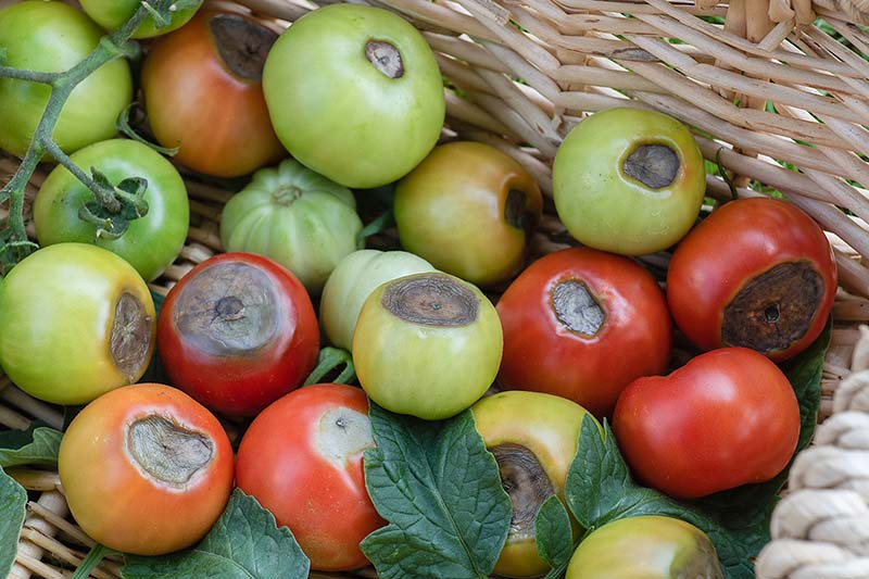 A close up of a wicker basket containing a number of green and red tomatoes all suffering from blossom-end rot with dark, rotten areas on the skin of the fruit.