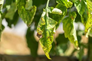 How to Prevent and Treat Early Blight of Tomatoes