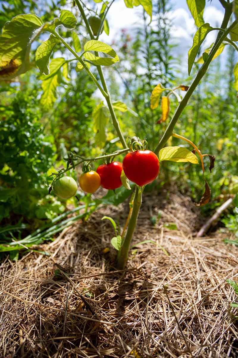 A close up vertical picture of a tomato plant surrounded by straw mulch pictured in bright sunshine on a soft focus background.