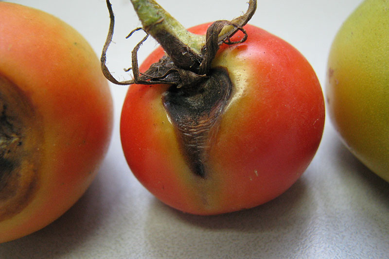 A close up of a ripe red tomato with an infection at the stem end causing the fruit to turn black, set on a white surface.