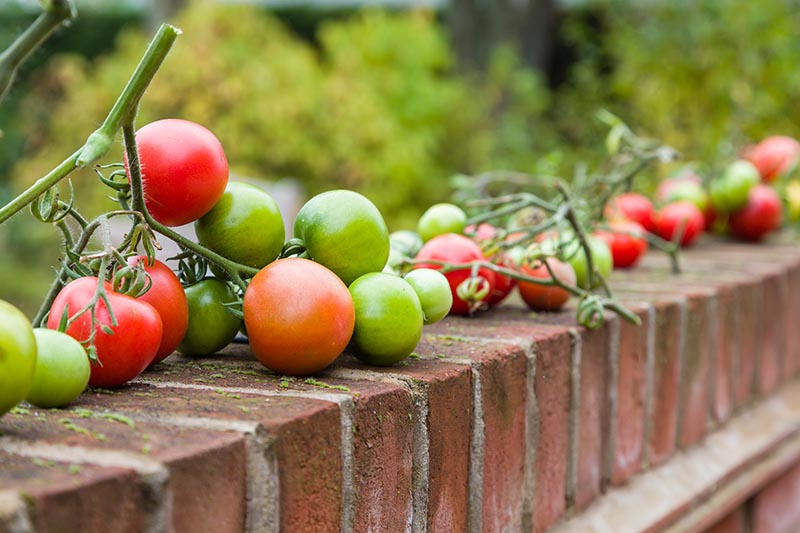 A close up of tomatoes at various stages of ripeness, some are red, others green, set on a brick wall, pictured on a soft focus background.