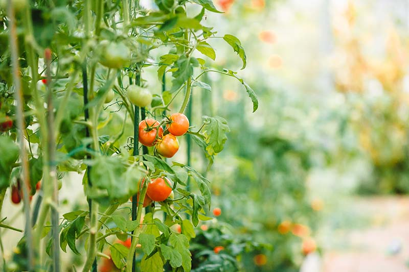 A close up of a tomato vine with fruit in various stages of ripeness, pictured on a soft focus background.