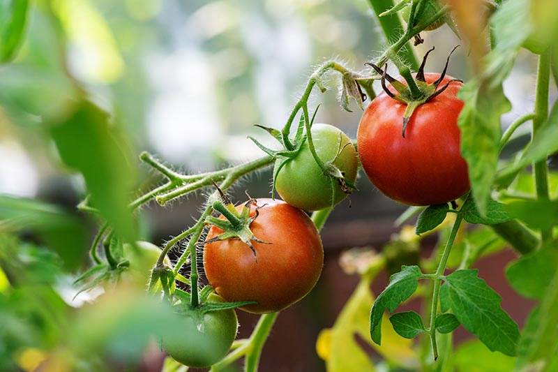 A close up of tomatoes ripening on the vine, pictured on a soft focus background.
