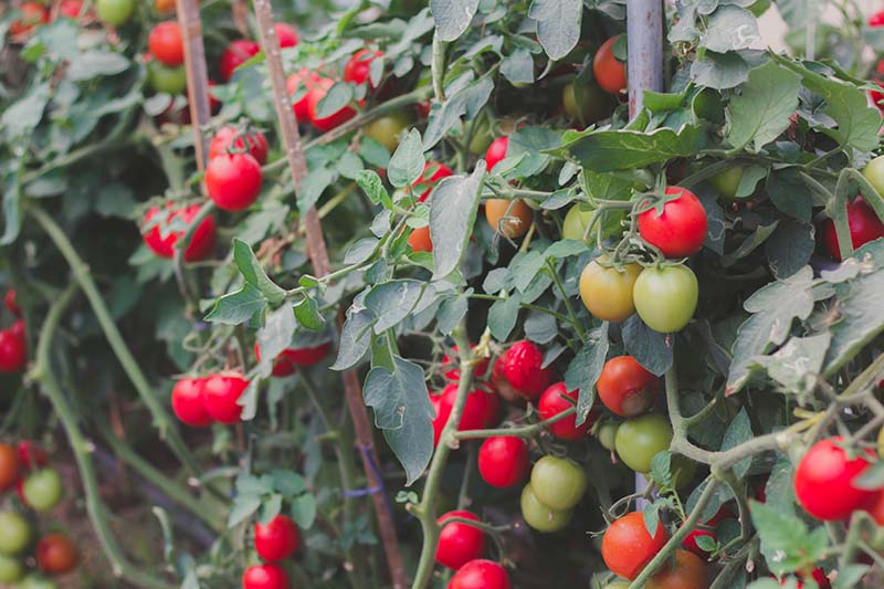 A close up of a large tomato plant with bright red fruits ready to harvest.