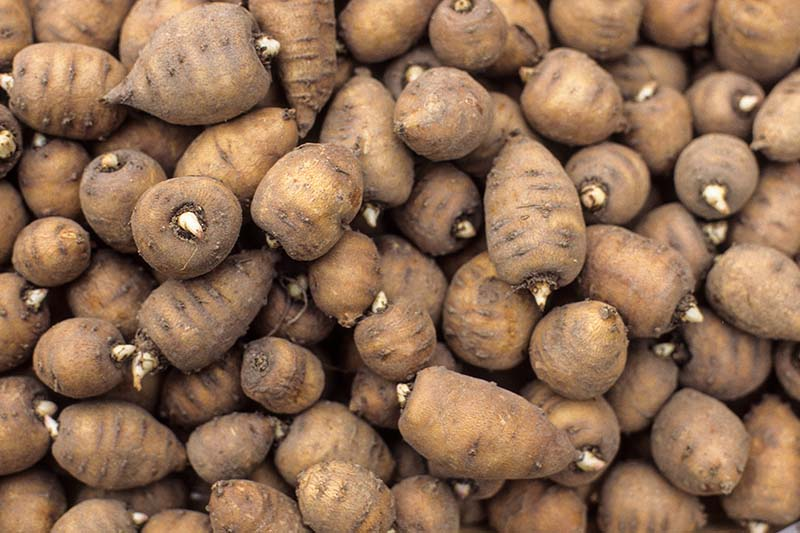 A close up of the tubers of turnip-rooted chervil, a root vegetable similar to carrot, with a brown skin and white flesh.