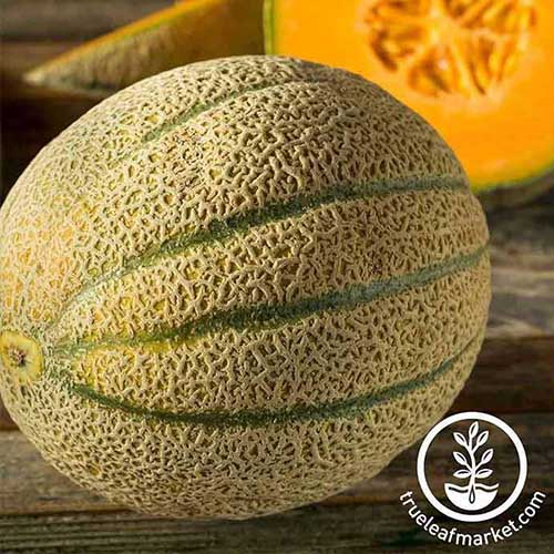 A close up of the melon variety 'Tuscanito' set on a wooden surface. To the bottom right of the frame is a white circular logo and text.