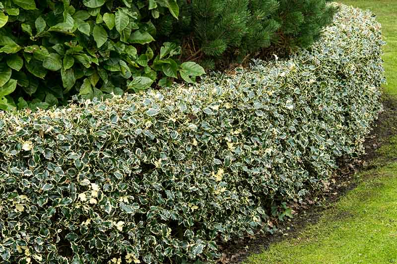 A close up of a low hedge of variegated holly at the side of a lawn with trees in the background.